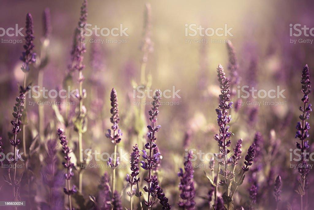 Salvia leucantha royalty-free stock photo