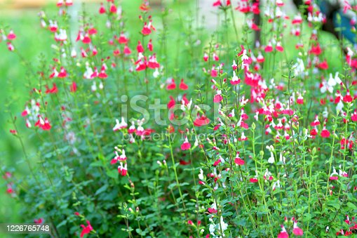 Salvia microphylla, also known as Baby sage, Graham's sage and Balckcurrent sage, is a perennial shrub, which flowers heavily in late spring to summer and again in autumn. The flowers are bi-colored; white with red on the bottom half of the lower lip. The color of some species can be all white, all red or other colors.