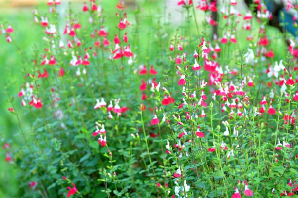 Salvia Microphylla / Baby Salbei mit zweifarbigen Blume von weiß und rot – Foto
