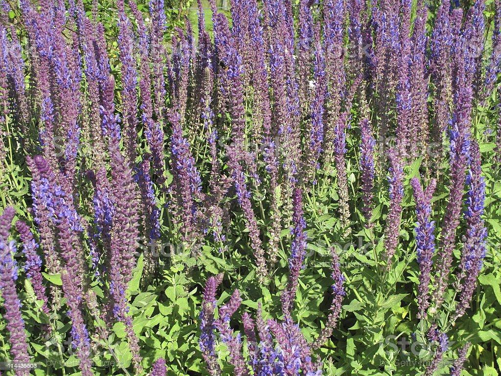 Salvia nemerosa royalty-free stock photo