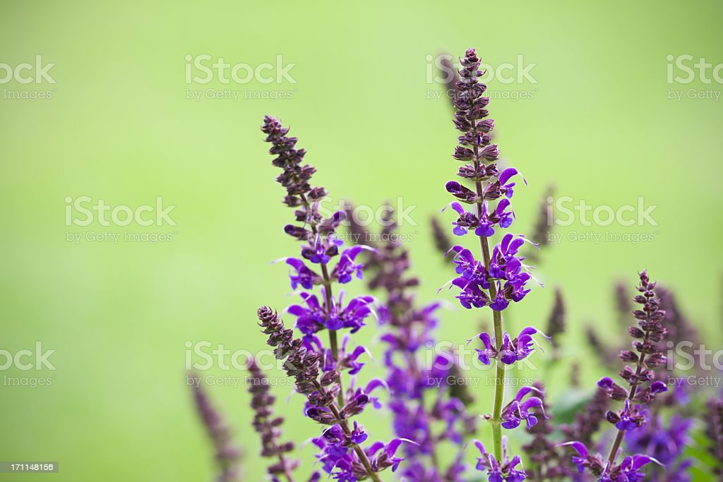 Salvia nemorosa stock photo