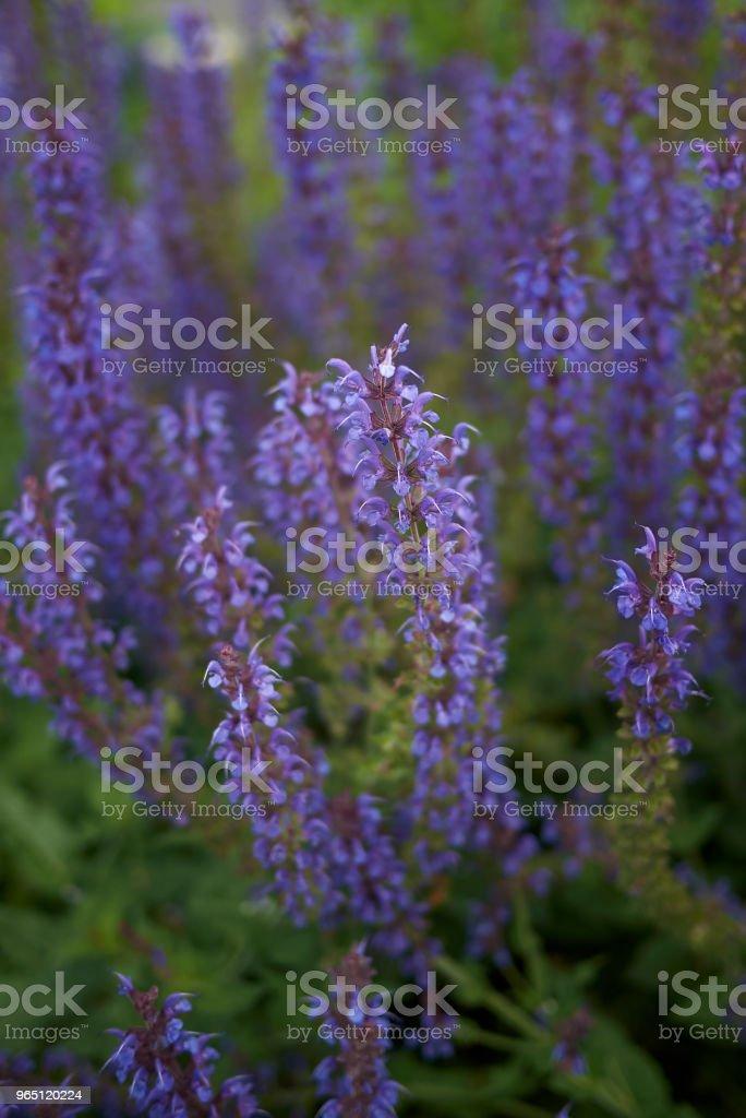 Salvia nemorosa zbiór zdjęć royalty-free