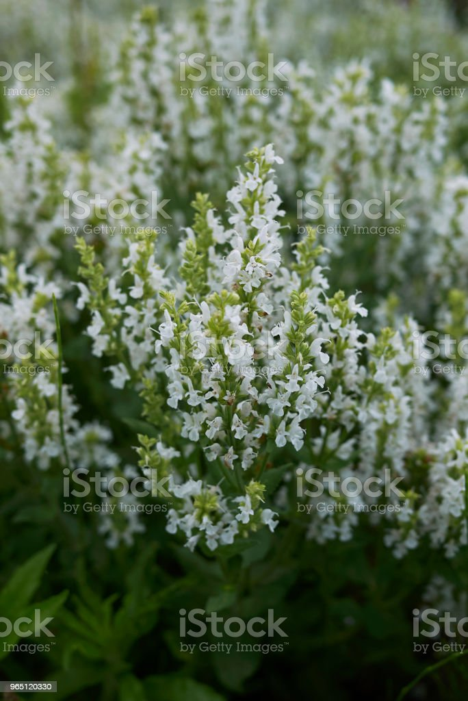 Salvia nemorosa royalty-free stock photo