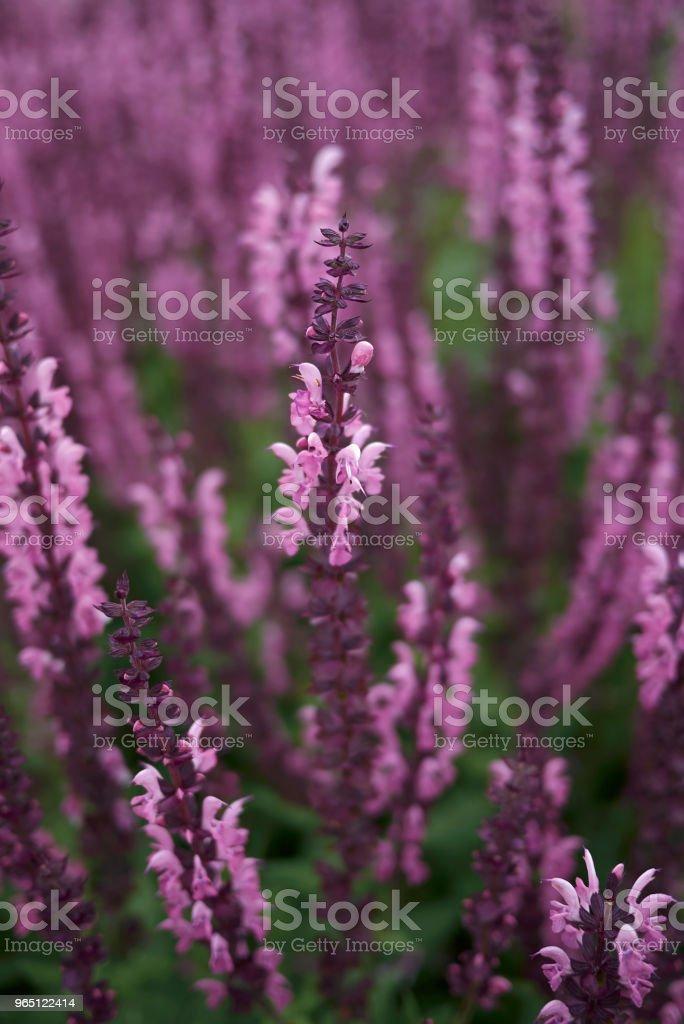 Salvia nemorosa royalty-free stock photo