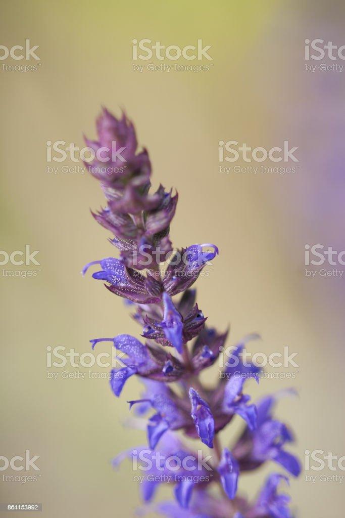 Salvia nemorosa, steppesalvie royalty-free stock photo