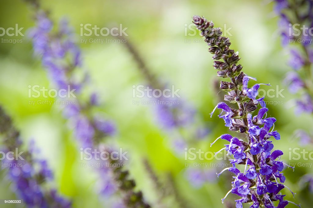 Salvia royalty-free stock photo