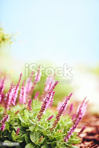 Salvia plants growing in warm sunlight