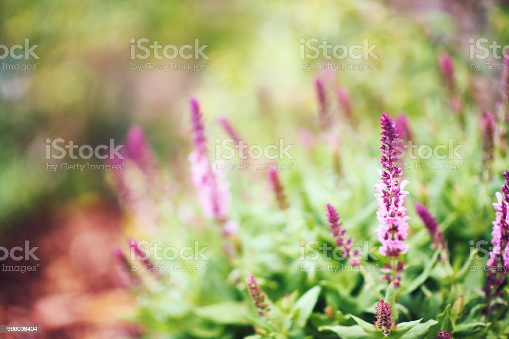Salvia plants growing in warm sunlight - Royalty-free Back Lit Stock Photo