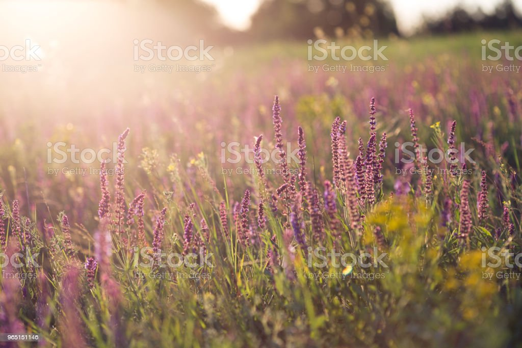 salvia. Summer meadow with sage in sunset time zbiór zdjęć royalty-free
