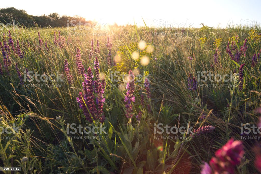 salvia. Summer meadow with sage in sunset time royalty-free stock photo
