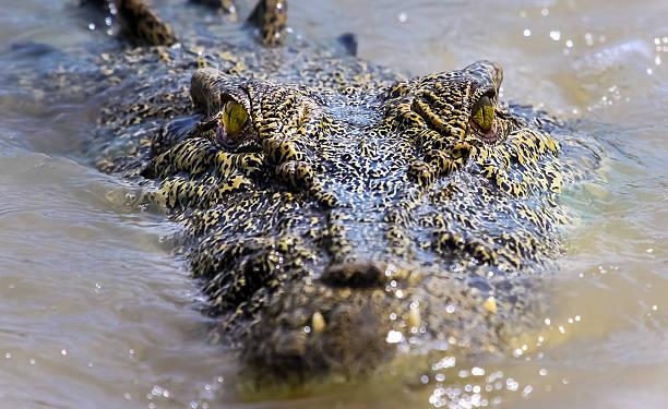 Salzwasserkrokodil in Australien – Foto