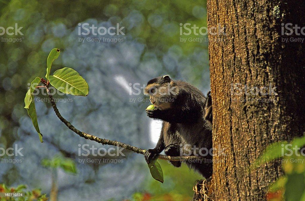 Samango monkey, Kakamega Forest, Kenya stock photo