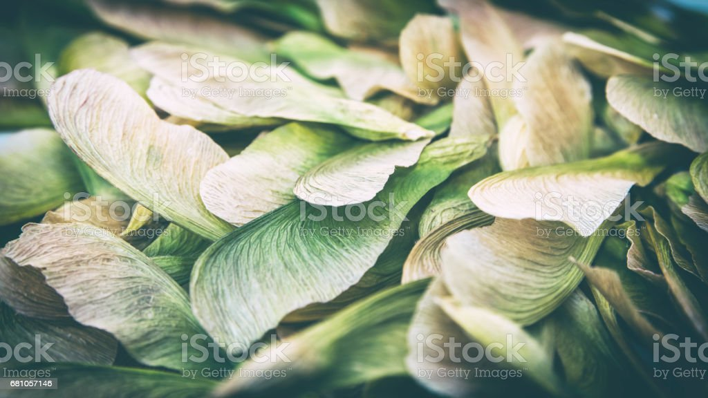 Samara maple tree dried fruit close-up in dark forest seed in spring season stock photo