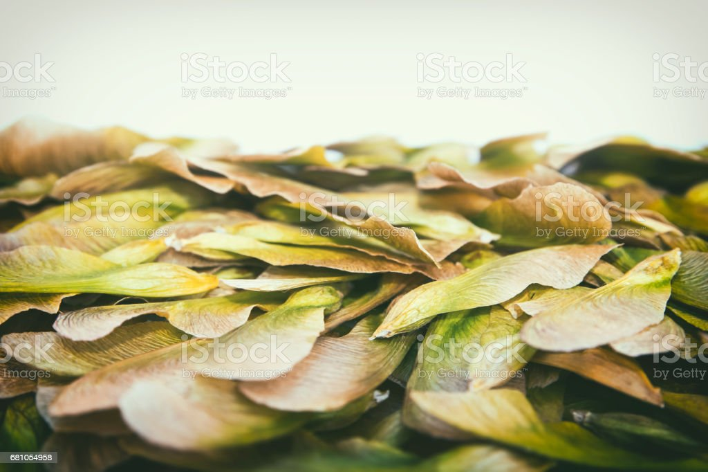 Samara maple tree dried fruit close-up seed in spring season royalty-free stock photo