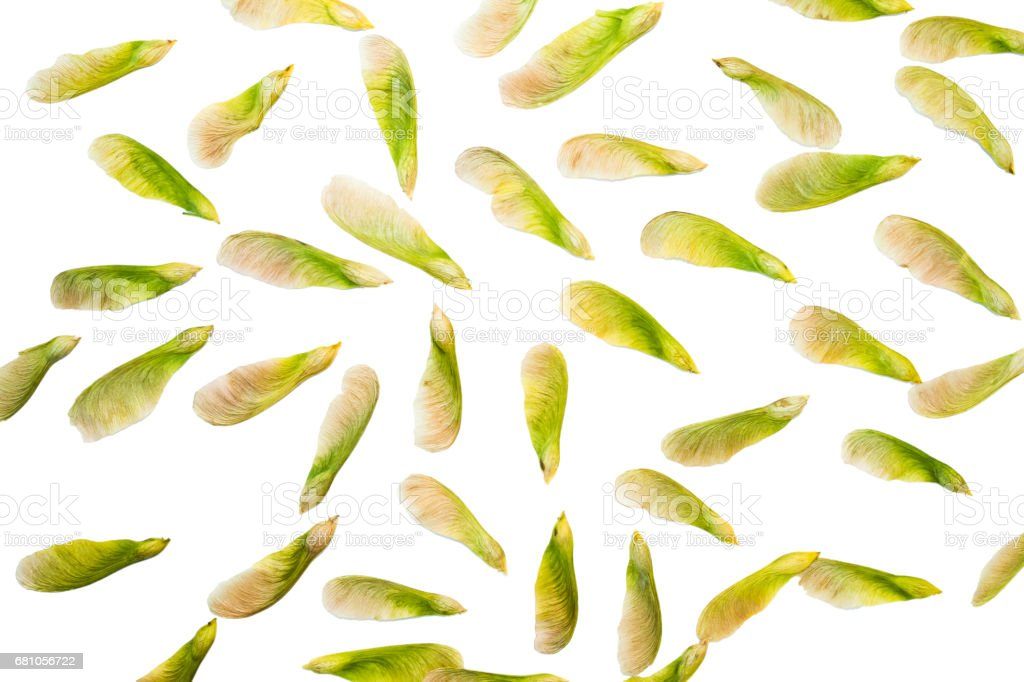 Samara maple tree dried fruit close-up seed in spring season stock photo