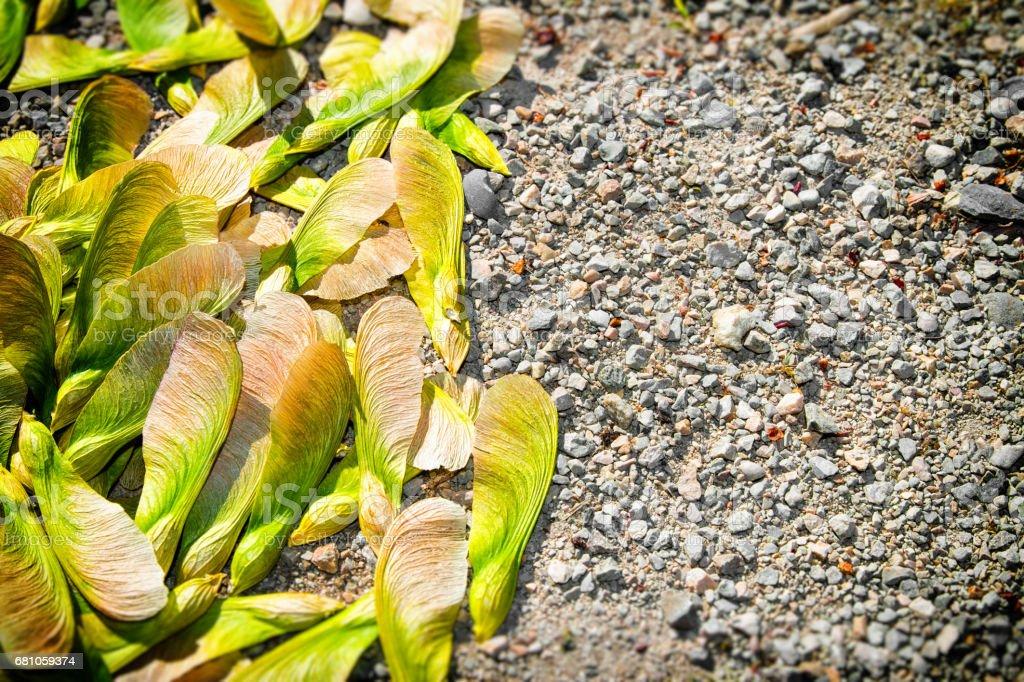 Samara maple tree dried fruit close-up seed in spring season stock photo