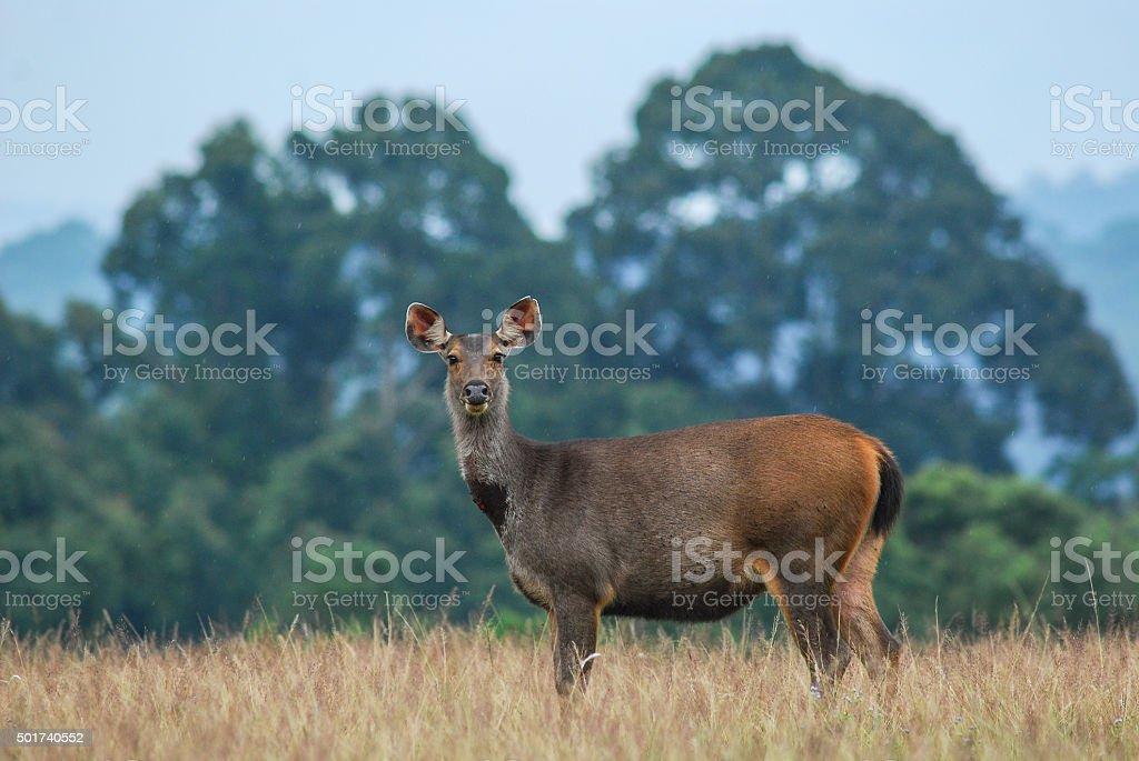 Samba Deer (female) stock photo