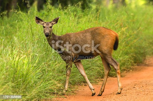 Female Sambar Deer found in abundance at Tiger reserves across Central India. Also the sambar deers are the favourite prey for the Tigers