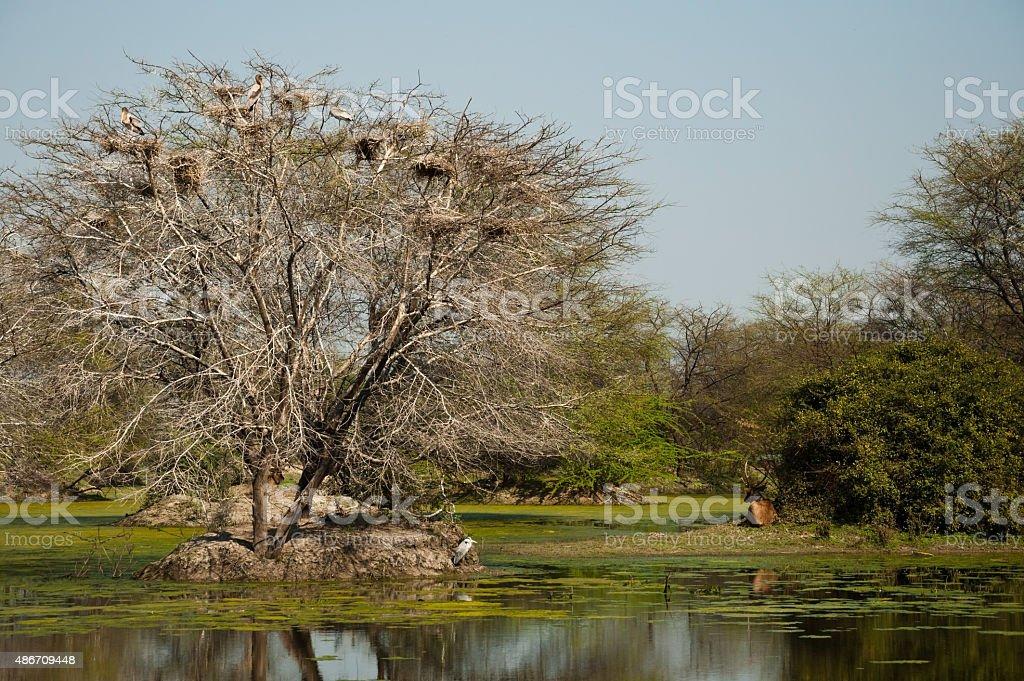 Sambar deer and Painted storks stock photo