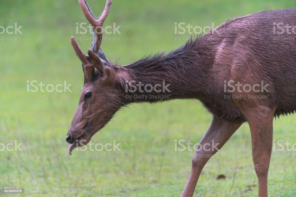 sambar deer at Khao Yai National Park, Thailand stock photo