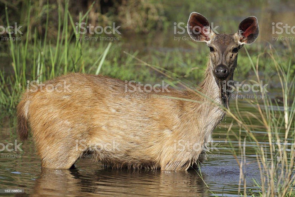 Sambar deer drinking in creek, Bandhavgarh National Park, India stock photo