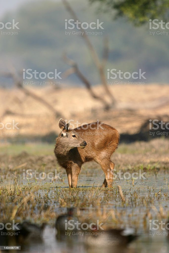 Sambar deer fawn royalty-free stock photo