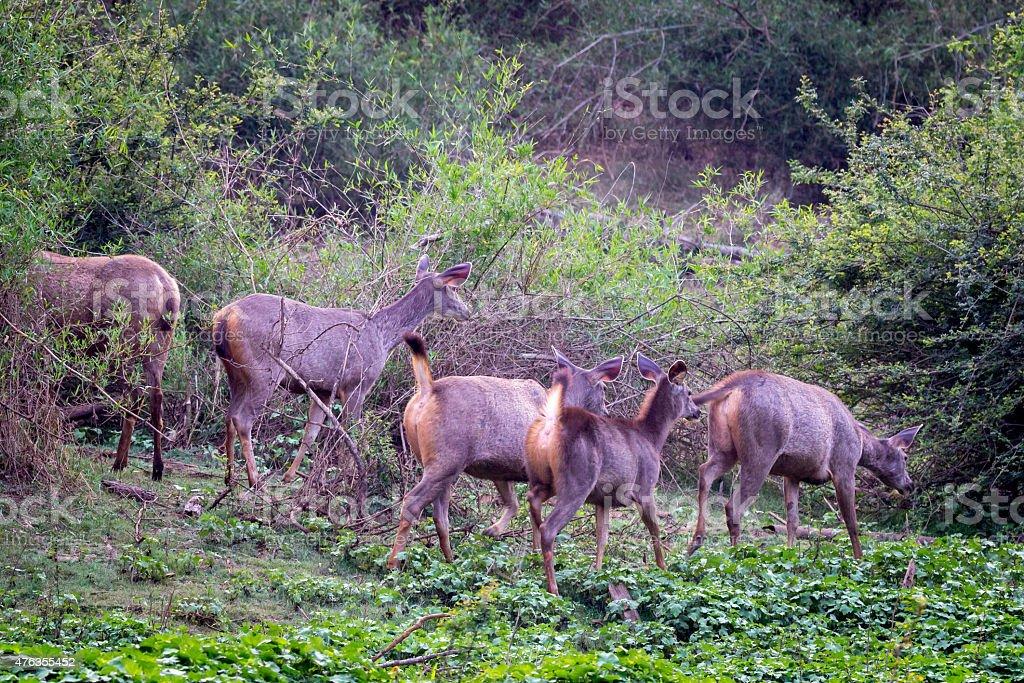 Sambar deer herd walking in forest stock photo