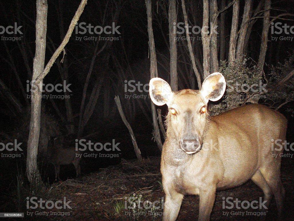 Sambar deer hind stock photo
