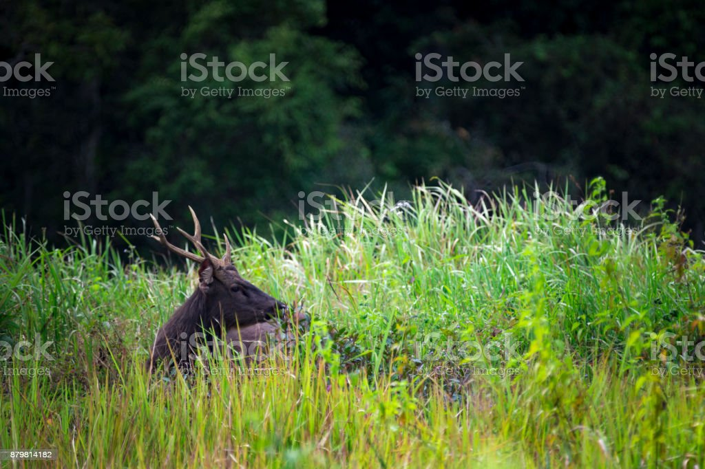 sambar deer in grassland field stock photo