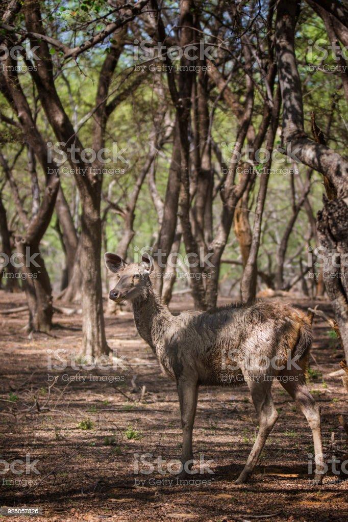 Sambar Deer in Ranthambhore National Park, Rajasthan, India stock photo