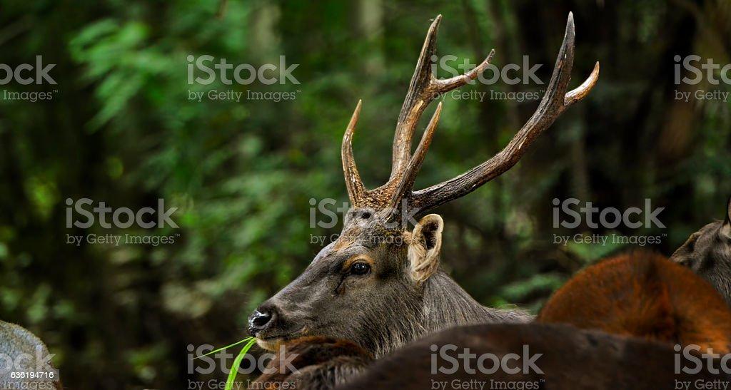 Sambar Deer (Rusa unicolor) in the wild stock photo