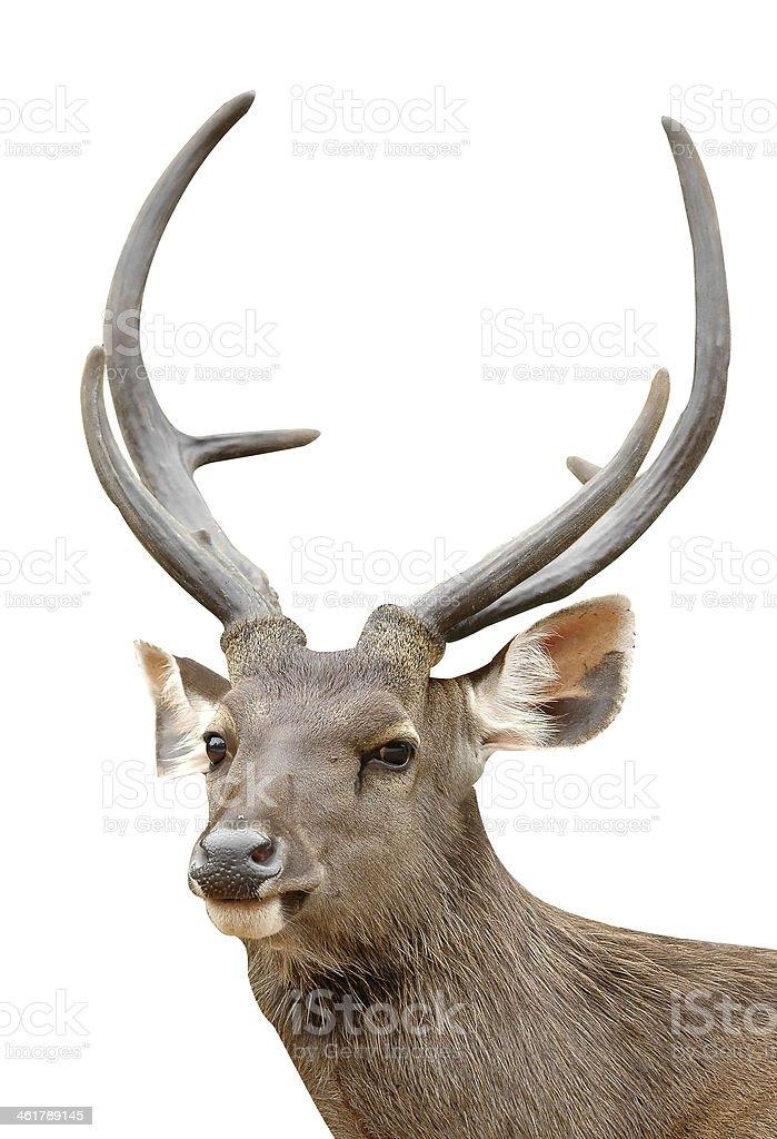 sambar deer isolated stock photo