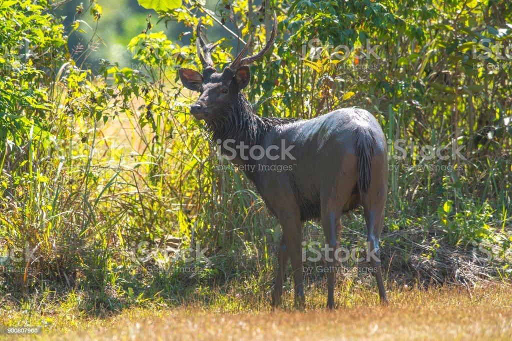 Sambar deer or Rusa unicolor stock photo
