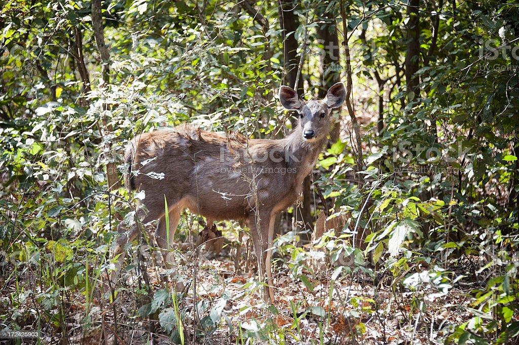 Sambar Deer. stock photo