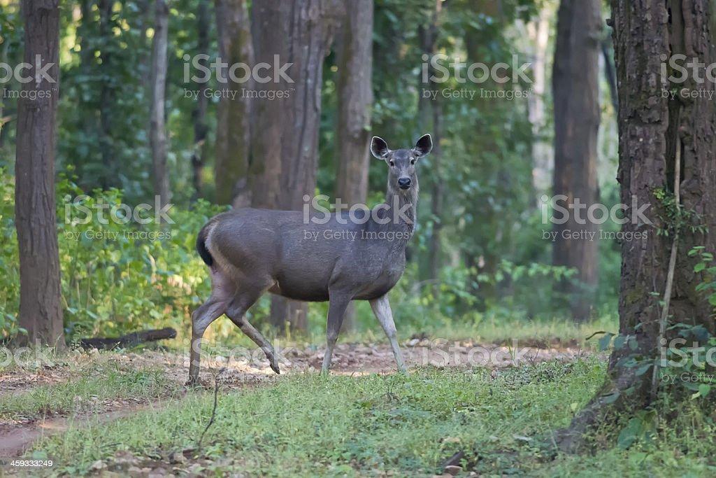 Sambar Deer stock photo