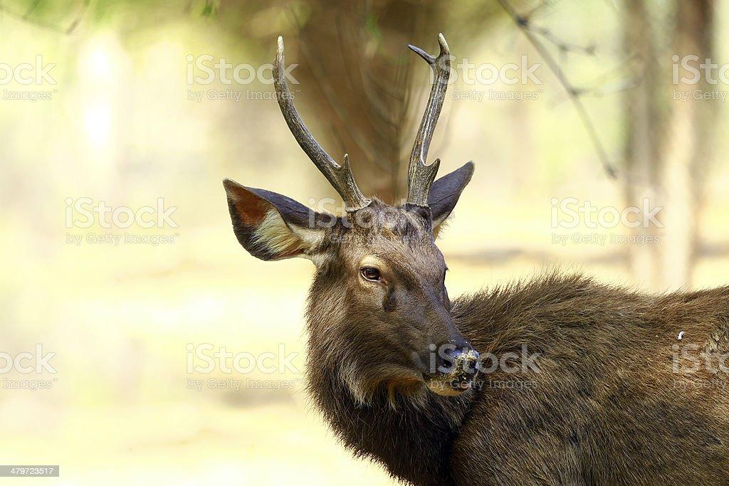 sambar deer royalty-free stock photo