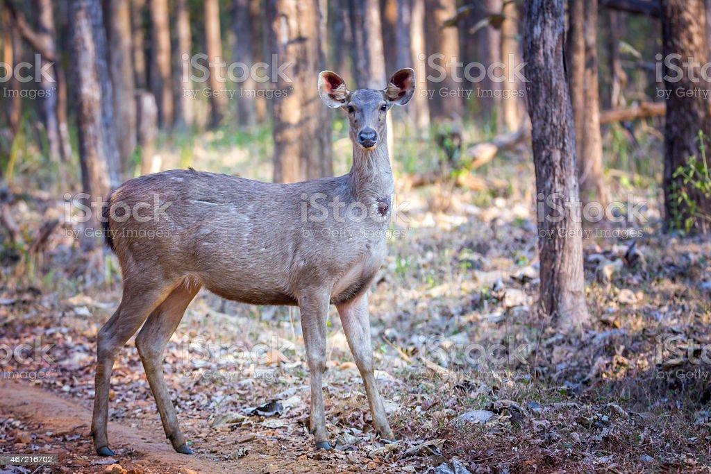 Sambar deer portrait stock photo