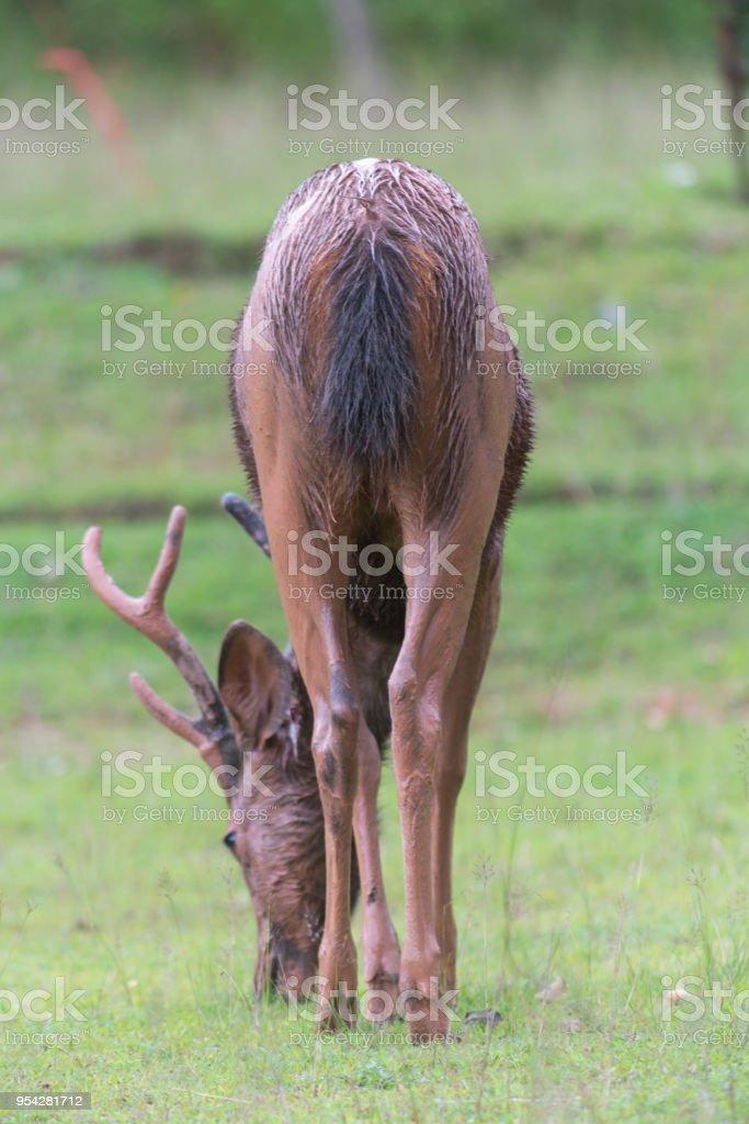 sambar deer, Rusa unicolor stock photo