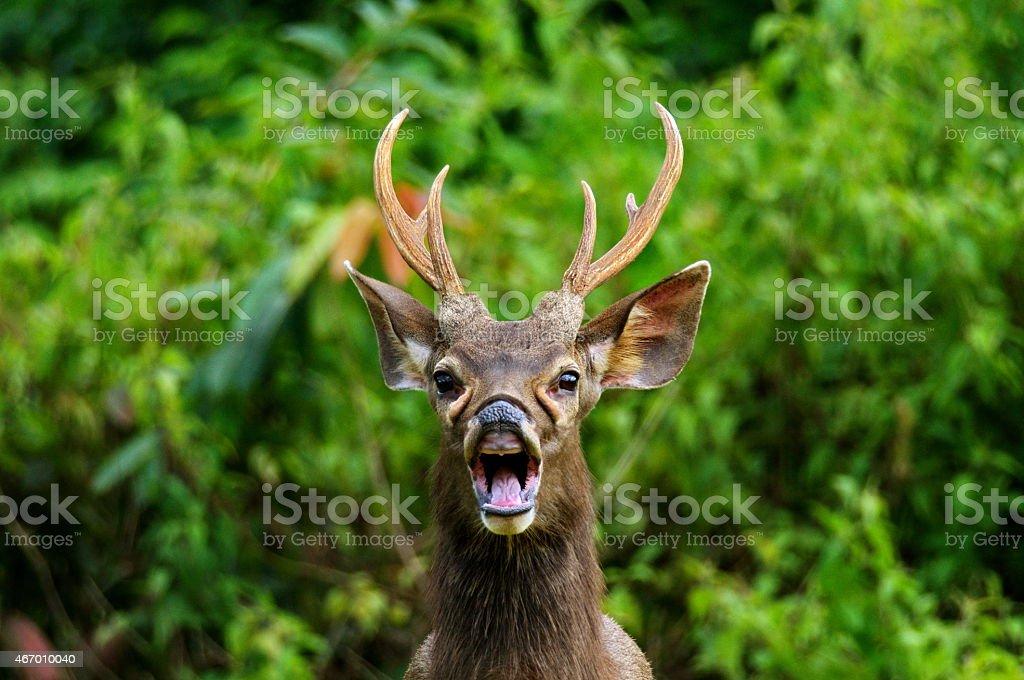 Sambar Deer wild deer stock photo