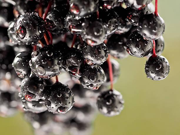 sambucus nigra - elderberry - roter holunder stock-fotos und bilder