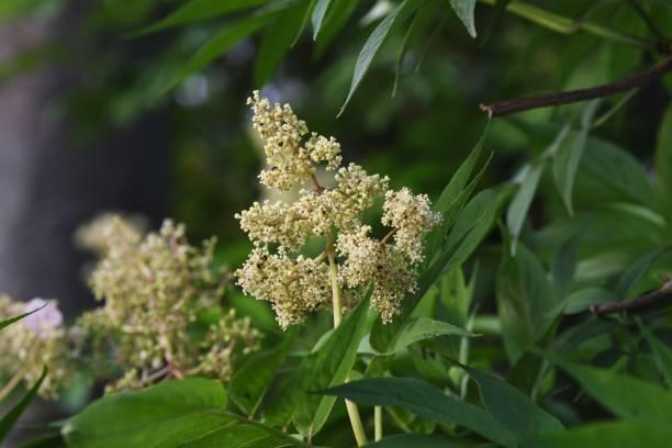 Sambucus sieboldiana (Japanese red elder) flowers – zdjęcie