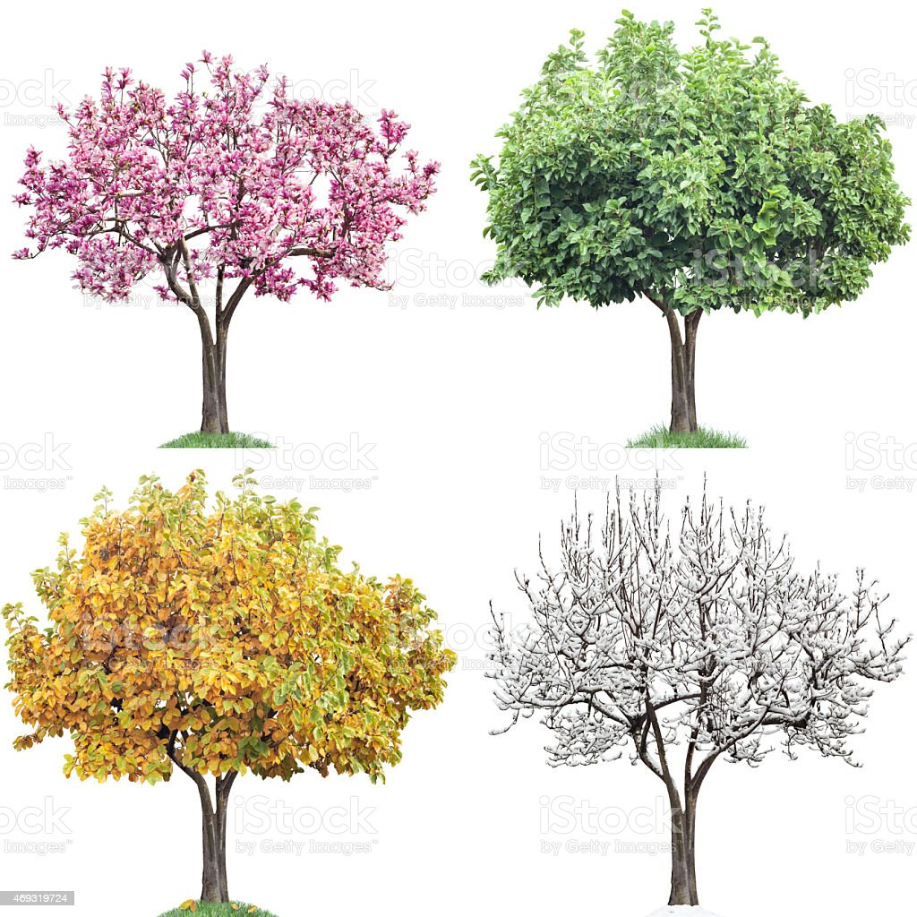 Same Tree Four Seasons, Magnolia stock photo