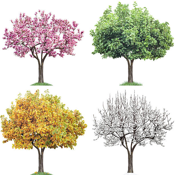 Same Tree Four Seasons, Magnolia Same tree in four seasons isolated on white. Magnolia with pink flowers, green leaves, autumn leaves, snow on brenches. Very large file. four seasons stock pictures, royalty-free photos & images