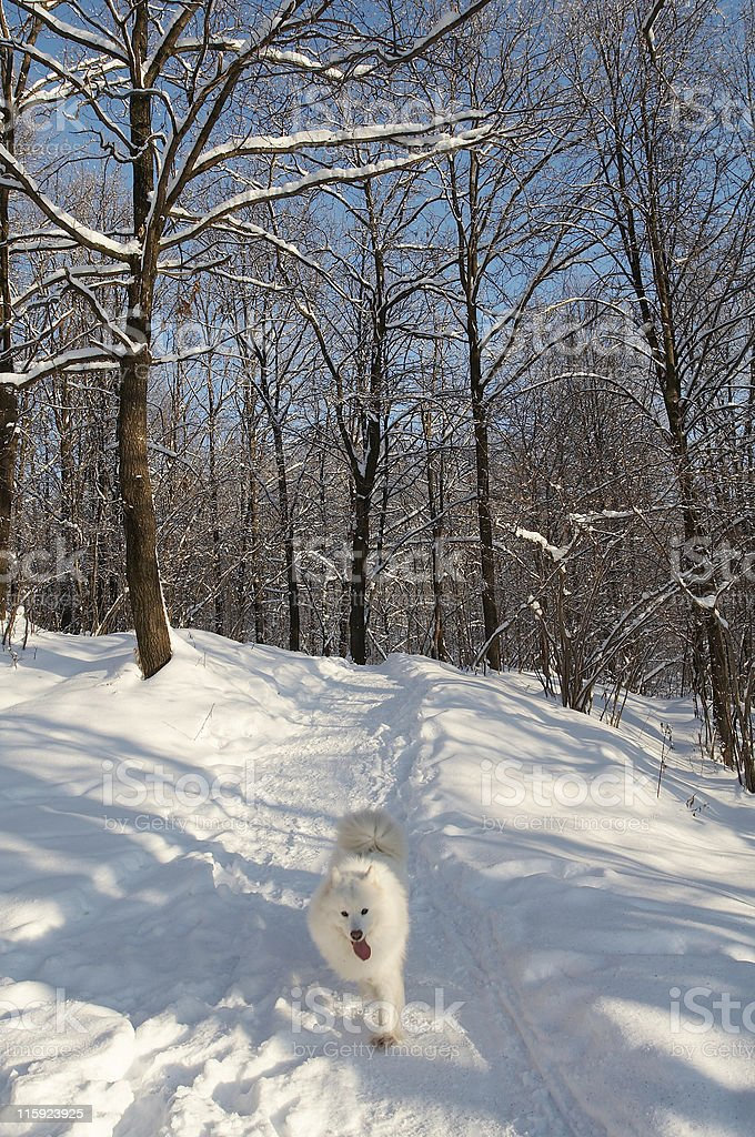 Samoed in winter forest stock photo