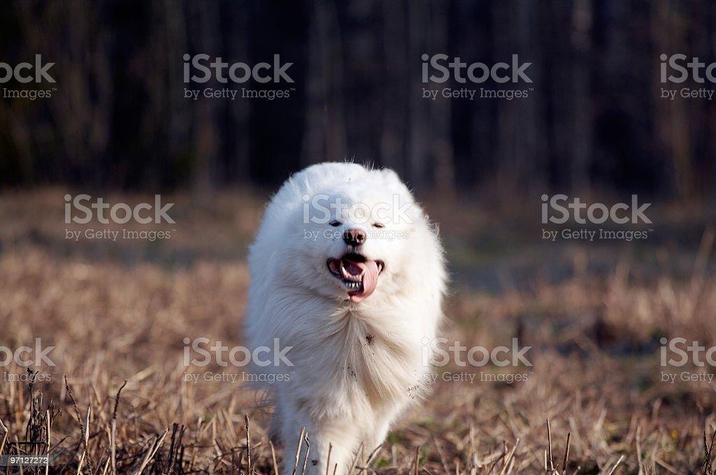 Samoed's dog stock photo