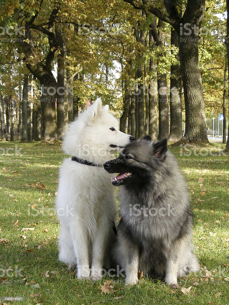 Samoyed and keeshond in the park stock photo