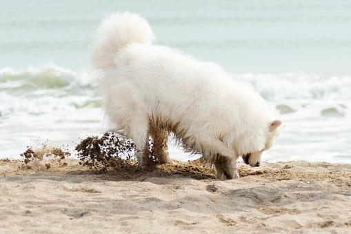 Samoyed dog have fun on a beach. Domestic purebred funny dog is walking at seashore