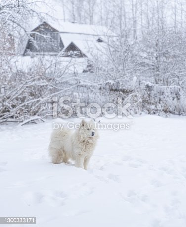 istock Samoyed dog in snow in backyard of a countryhouse 1300333171