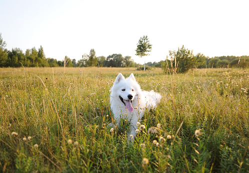 Samoyed dog lies over the meadow during the sunset. White husky dog in green field