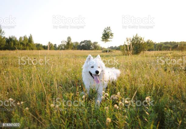 Samoyed dog lies over the meadow during the sunset white husky dog in picture id978361022?b=1&k=6&m=978361022&s=612x612&h=krhzyn0fdnlvsmaufptjwpg63bc9iw6ofmtvvn jzpa=